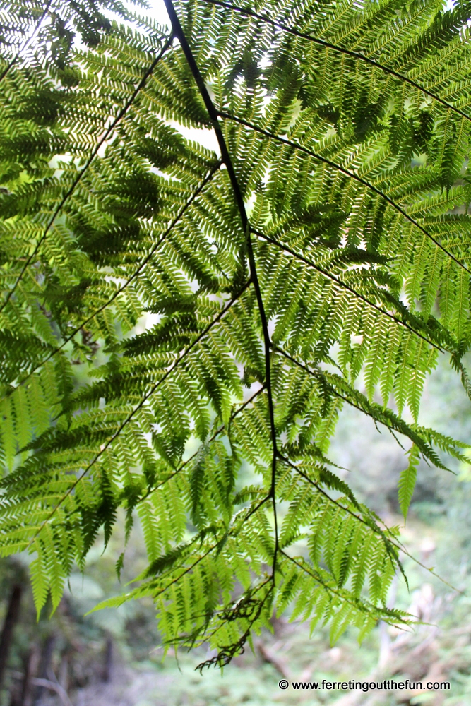 Close up of a giant fern in an Australian rainforest